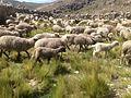 Crianza de ganado ovino.jpg