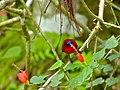 Crimson Sunbird (Aethopyga siparaja) (8066355097).jpg