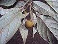 Croton malabaricus 28.jpg
