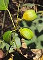 Croton tiglium 02.JPG