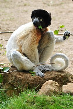 Crowned Sifaka (7006332018) (2).jpg
