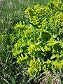 Cruciata laevipes sl13.jpg
