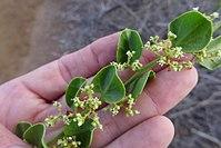 Cryptocarpus pyriformis.jpg