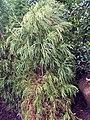 Cryptomeria japonica Yoshino 0zz.jpg