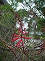Crystal River erythrina04.jpg