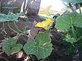 Cucurbita moschata (zapallo espontáneo) flor masculina M09 M10 antesis vista lateral orientación.JPG