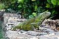 Curacao Iguana iguana 2021 2.jpg