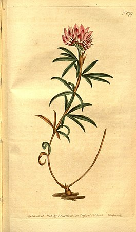 Curtis's botanical magazine (No. 879) (8469934133).jpg