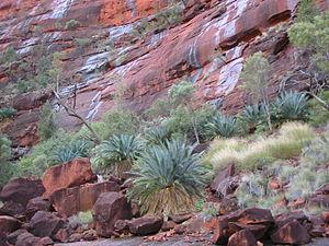 Macrozamia - MacDonnell Ranges cycad (Macrozamia macdonnellii) in Cycad Gorge, Finke Gorge National Park, NT
