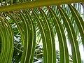 Cycas circinalis - detail (4).JPG