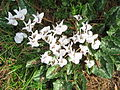 Cyclamen hederifolium Album005.jpg