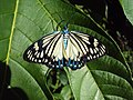 Cyclosia papilionaris - Drury's Jewel - at Peravoor (4).jpg
