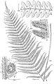 Cyclosorus castaneus.jpg