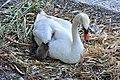Cygnus olor (Küken) - Arboretum 2011-05-30 20-00-02.JPG