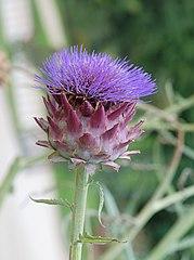Flor de la alcachofa