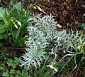 Cynara seedling ex Chelsea Physic Garden form - Flickr - peganum.jpg