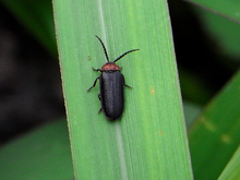 Asian beetle bug lady
