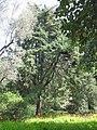 Cypres torulosa (Serres de la Madone).jpg