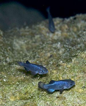 Devils Hole pupfish - Devil's Hole pupfish swimming over an algae mat.