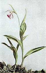 Cypripedium arietinum WFNY-032B.jpg