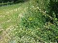 Cytisus procumbens sl40.jpg