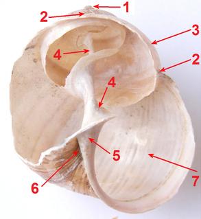 Columella (gastropod)