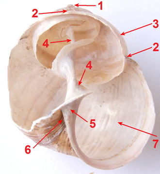 Columella (gastropod) - Shell of Helix pomatia with a part of shell removed; (4) the columella