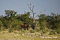 DSC07158.jpeg Eland Antilope (50713118753).jpg