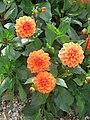 Dahlia 'Orange Nugget' 1.jpg
