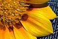 Daisy Petals (80954865).jpeg