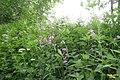 Dame's violet (NH) (14665711111).jpg