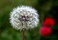 Dandelion seedhead (1).jpg