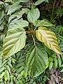 Daun Gondang - Kondang (Ficus variegata).jpg