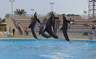 Common bottlenose dolphin - Five dolphins jumping in show.