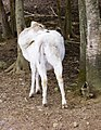 Deer, The Magnetic Hill Zoo, Moncton, New Brunswick, Canada (40419482602).jpg