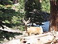 Deer Buck (9403843098).jpg