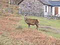 Deer in the village of at Camasnacroise - geograph.org.uk - 639256.jpg