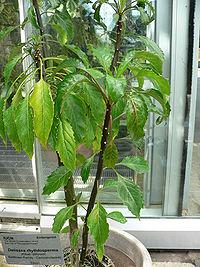 Delissea rhytidosperma