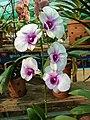 Dendrobium cultivar 90.jpg