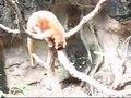File:Dendrolagus matschiei at the Bronx Zoo 01.ogv