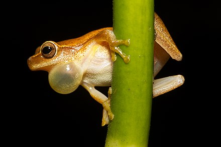 Male treefrog (Dendropsophus microcephalus) inflating his air sac as he calls Dendropsophus microcephalus - calling male (Cope, 1886).jpg
