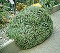 Deuterocohnia brevifolia 01 ies.jpg