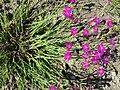 Dianthus deltoides sl21.jpg