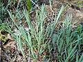 Dianthus graniticus 2017-05-06 9866.jpg