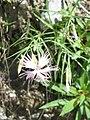 Dianthus monspessulanus001.jpg