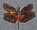 Diastatops obscura1.jpg