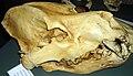 Dinocrocuta.jpg
