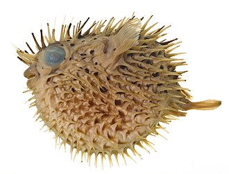 Long-spine porcupinefish - Image: Diodon holocanthus SI