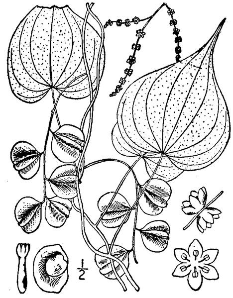 File:Dioscorea villosa L. Wild yam.tiff