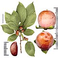 Diospyros lotus fruits and seed.jpg